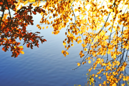 Autumn blurred background of Golden leaves with branches hanging over the water. Artistic blur. Background. Stock Photo