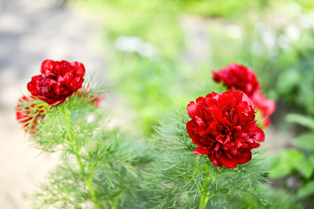 Red peony flowers grown on a narrow-leaved garden flower bed. Latin name is Paeonia tenuifolia. Background.