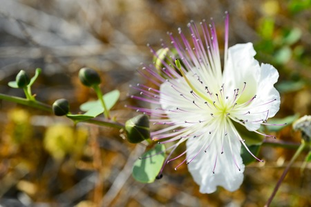 Large white flower with pink stamens shrub Myrtus. The Island Of Cyprus.