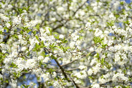Large branches of cherry blossoms blooming with white flowers against the blue sky. Background. 写真素材