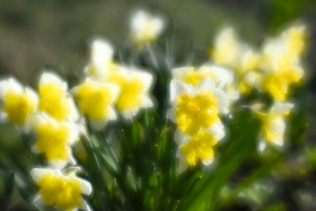 Narcissus in the flower bed in spring. The first garden flowers. The photo was taken on a soft lens, blurring art.