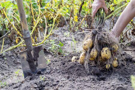Hands Mann zog aus dem Boden Kartoffel Bush gelb im Garten mit einer Schaufel Nahaufnahme. Das Konzept des Anbaus von Naturprodukten.