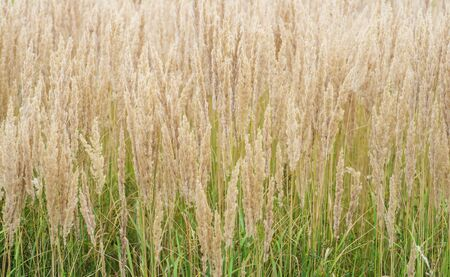 The texture of thick lush panicles of Golden tone against the green grass of the lawn. Texture, background