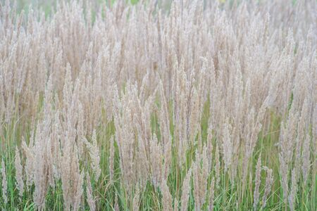 The texture of thick lush pastel-colored panicles against the green grass of the lawn. Texture, background Stock fotó