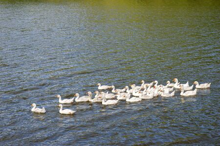 A flock of domestic white geese swims on the lake in the evening light. Background.