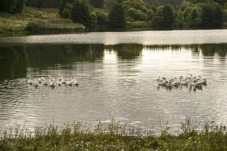 Two small flocks of domestic white geese swim across the lake in the evening light. Background.