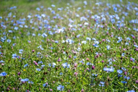 Blue flowers of chicory large on the background of summer flowering meadows. Background. Copy space.