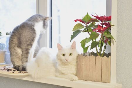 A white Angora cat with an expressive look lies on a window with a red flower on the background of another gray cat.