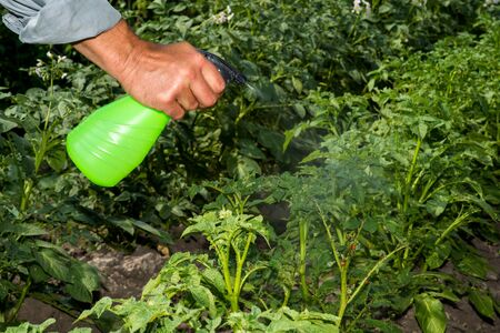A mans hand holds a spray gun, spraying the green tops of potatoes from the larvae of a Colorado beetle. Background.