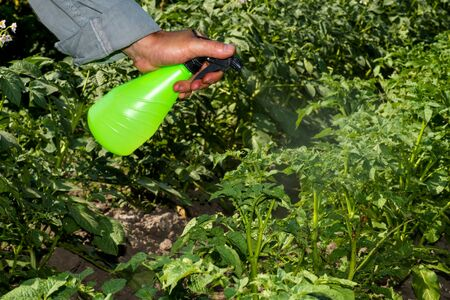 A man's hand holds a spray gun, spraying green potato bushes from the larvae of a Colorado beetle. The concept of combating agricultural pests. Background.