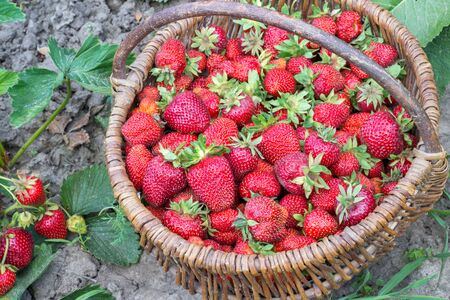 Wicker basket with ripe red strawberries close-up in uniform light on the background of a garden bed with red berry bushes. Concept of healthy farm products. Stock Photo