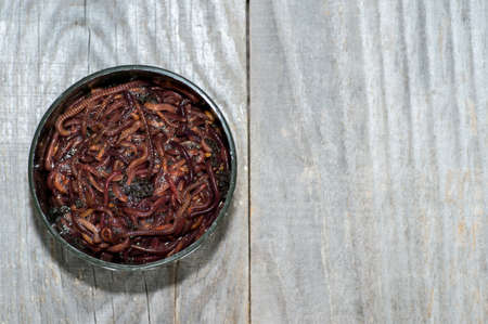 Red compost worms in a plastic fishing box on a faded wooden gray background. Background