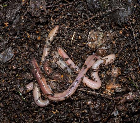 Several large earthworms on moist, greasy soil. Standard-Bild