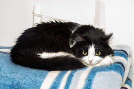 A black and white cat lies on a rolled-up blue blanket on a white background
