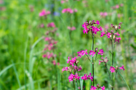 Blur. Silene viscaria in the foreground of a green flowering meadow. Natural background 版權商用圖片