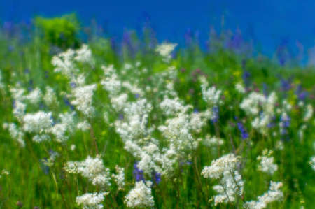 Blurred. Blue and white wildflowers close-up on a green summer meadow against a blue sky on a Sunny summer day.