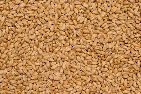 Background of red winter wheat grains. Organic texture