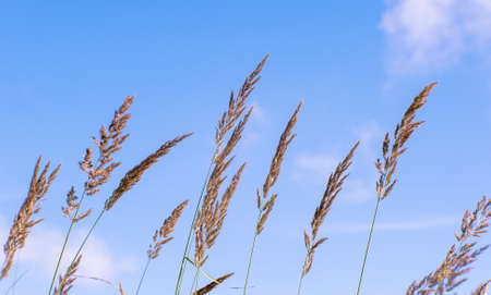 Blur. Fluffy ears blossoms of the wild grass in the middle of summer on a background of blurred blue sky. 版權商用圖片