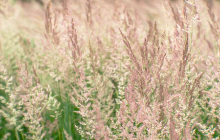Blur. Lush panicles of wild grass close-up with ripe seeds of pastel beige tone on a green meadow. Background. Selective focus.