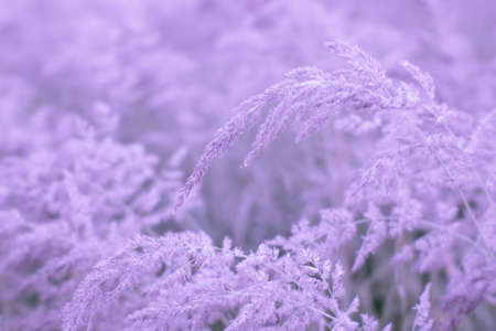 Blur. Lush panicles of wild grass in pink pastel close-up in dewdrops in the morning misty haze. Tinted soft airy tone.