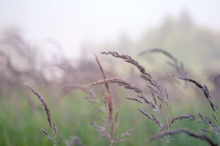 Blur. Fluffy panicles of wild grass close-up on a green meadow in the morning misty haze. Background.