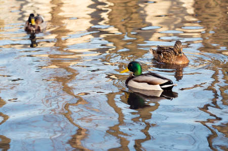 Two Drake and a duck in the sunshine swim in the lake in the spring. Background 版權商用圖片
