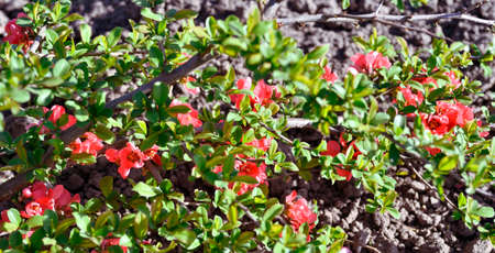 The red flowers of a young Japanese quince bush bloom close-up on a bright spring day. Background