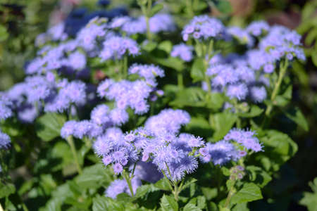 Lilac flowers of Ageratum houstonianum close-up on a flower bed on a summer morning in the sunlight. 版權商用圖片