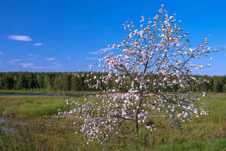 A blooming apple tree in spring against the background of a forest and a clear blue sky with rare clouds. Background