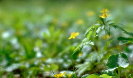 Blur. Yellow buttercups in a sunny haze on the background of a blurred green meadow. Background