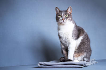 A gray cat with a white breast and an expressive look sits on a gray blanket on a gray-blue background