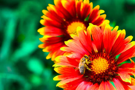 Bee in pollen close-up on a flower gaillardia with bright yellow-red petals.