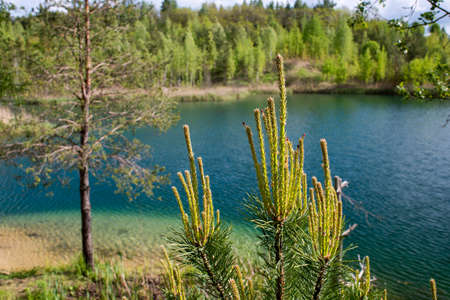 Blooming pine buds on the background of the lake on a clear summer day. Background 版權商用圖片