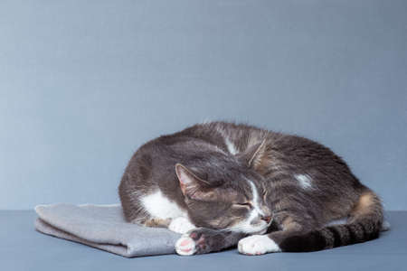 A gray cat with white paws curled up asleep on a gray blanket on a gray-blue background 版權商用圖片