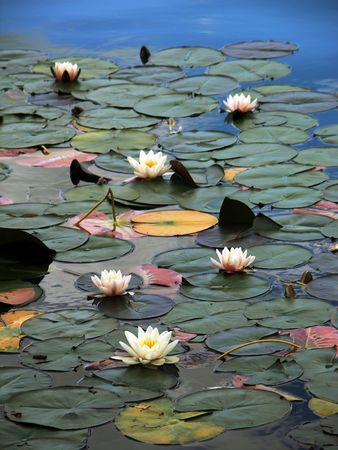 bled: Water-lilies on lake Bled, Slovenia