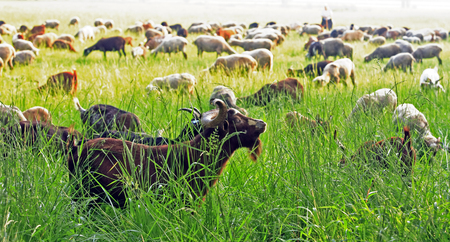 ram and goat herd near saint tropez on the french riviera 版權商用圖片 - 121743584