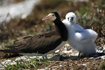 brown booby Sula leucogaster is a large seabird of the gannet  of the Abrolhos island bahia state brazil