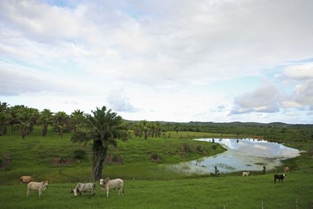 cows rice plantation field in bahia state brazil Stock Photo