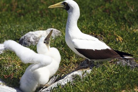 white booby Sula leucogaster is a large seabird of the gannet  of the Abrolhos island bahia state brazil