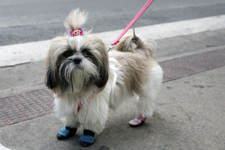 cute and funny Shih Tzu or Lhasa Apso with little blue and pink slipper