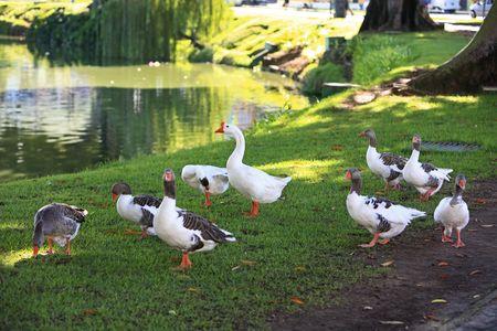 Greylag Goose Anser anser by the water in salvador de bahia brazil