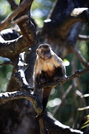Brazilian Macaque monkey in trees of the  rain forest 版權商用圖片 - 121744063