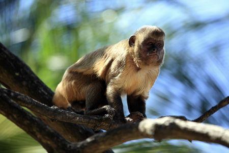 Brazilian Macaque monkey in trees of the  rain forest 版權商用圖片 - 121744064