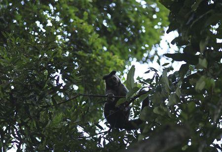 Brazilian Macaque monkey in trees of the  rain forest 版權商用圖片 - 121744067