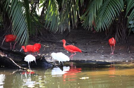 amazonian Scarlet Ibis Eudocimus ruber is a species of ibis that occurs in tropical South America 写真素材
