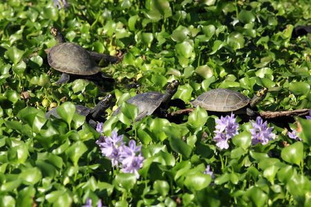 four water Painted Turtle Chrysemys picta in  a line on a bed of water lily Stock Photo