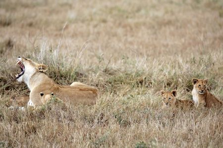 female Lion and lion cub in the Masai Marra reserve in Kenya Africa Stock Photo