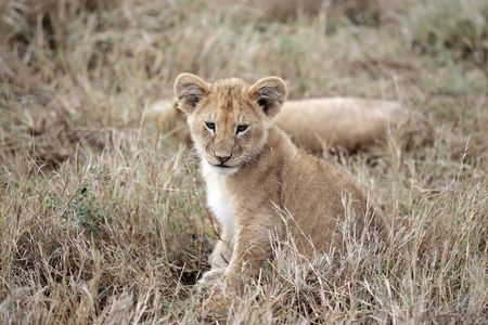 Lion cub playing in the Masai Marra reserve in Kenya Africa