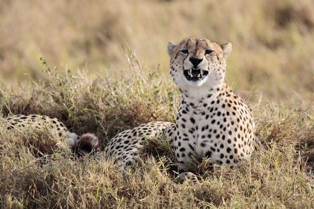 Cheetah n the Masai Marra reserve in Kenya Africa