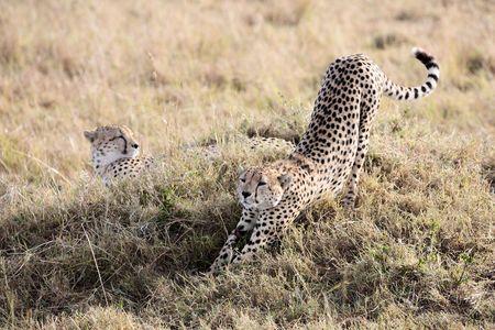 Cheetah n the  Masai Marra reserve in Kenya Africa 版權商用圖片